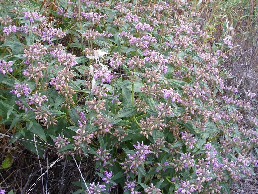 Flores del matagallo