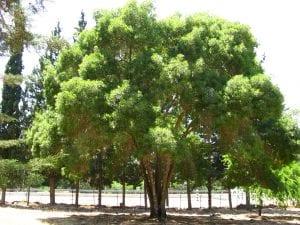 Vista del árbol Fraxinus angustifolia