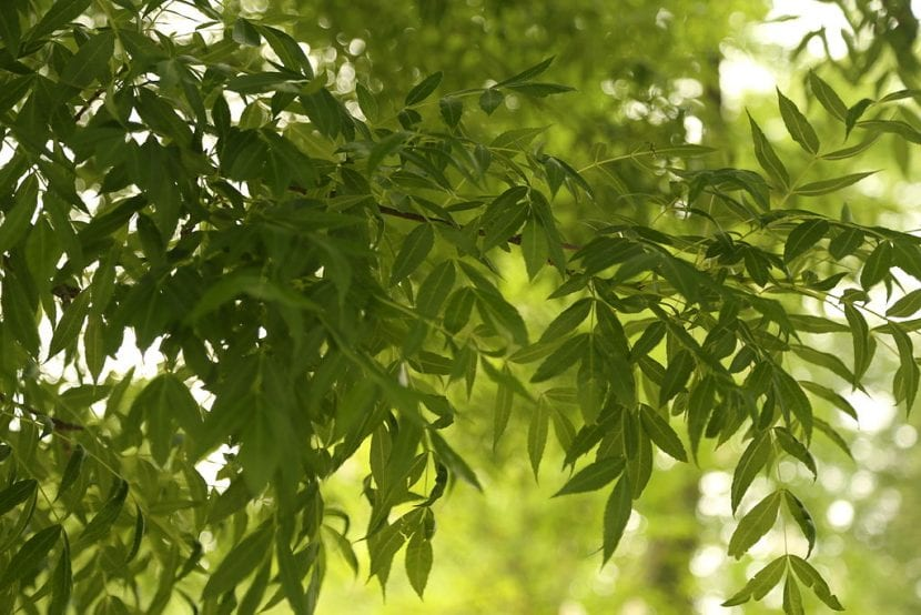 Las hojas del Fraxinus angustifolia son caducas