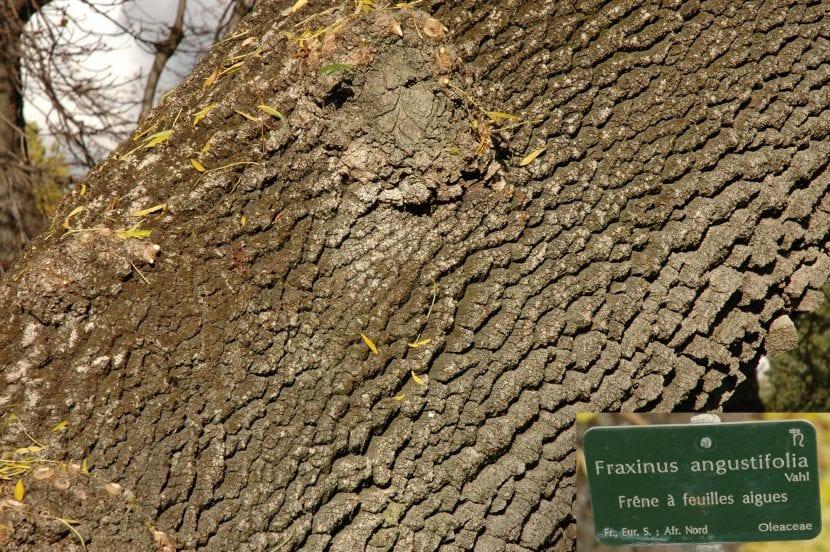 El tronco del Fraxinus angustifolia es grueso