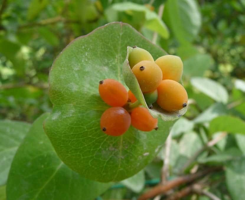 Frutos de la madreselva mediterránea