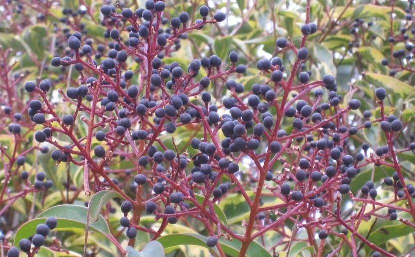 Frutos del aligustre de Japón