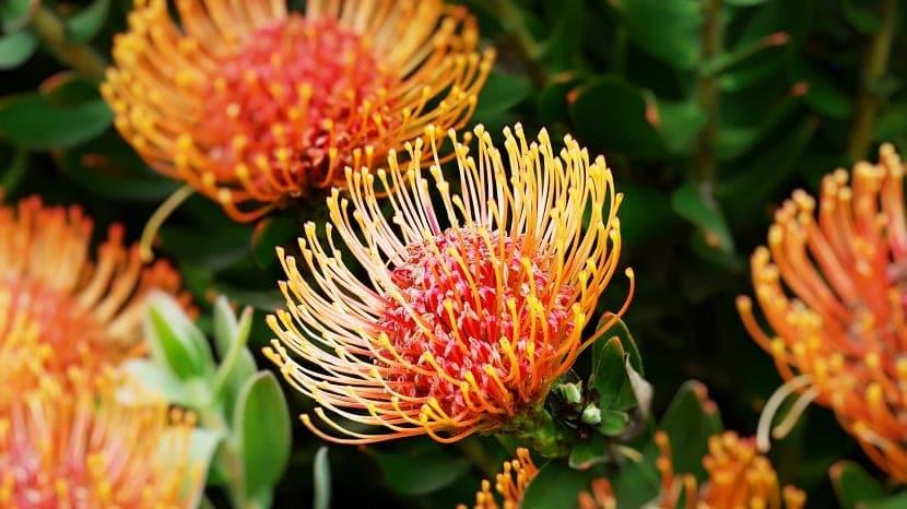Género Protea
