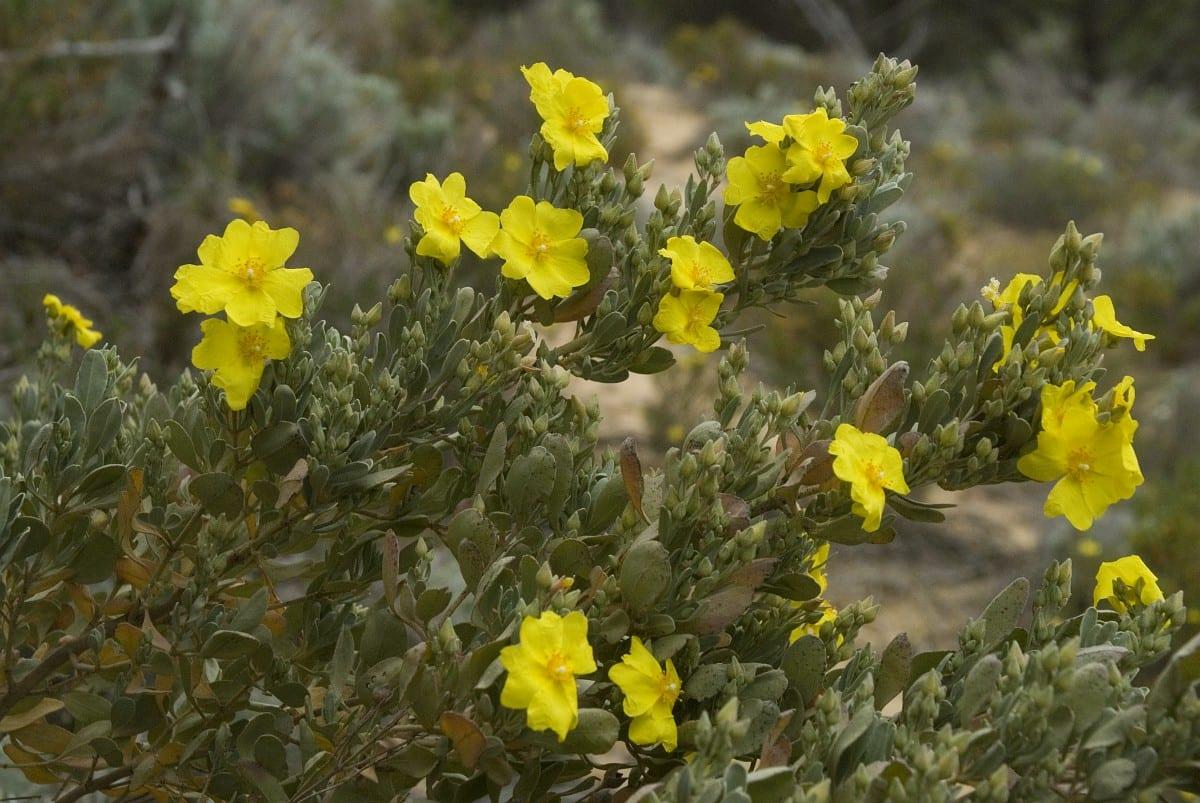 Halimium atripicifolium en hábitat