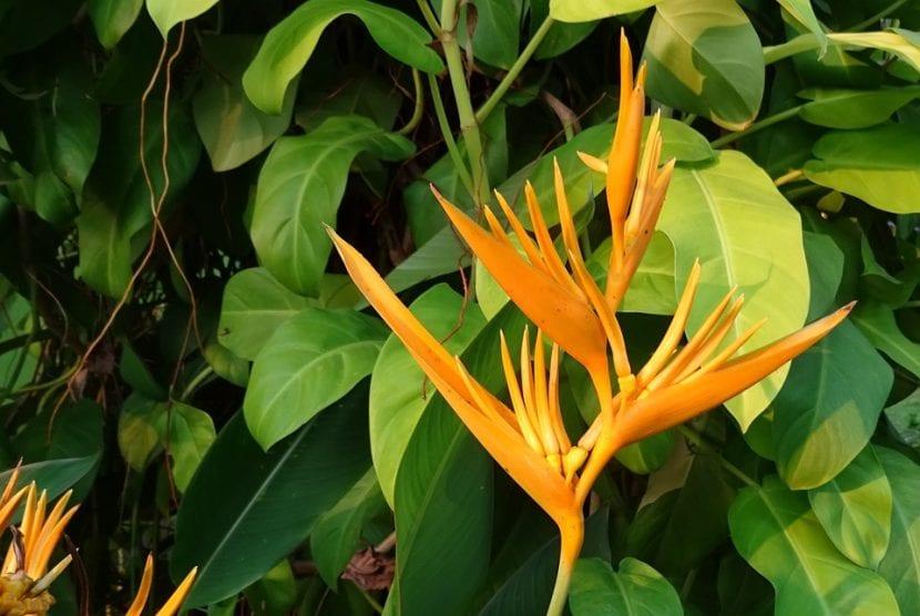 Vista de la flor de la Heliconia 'Golden Torch'