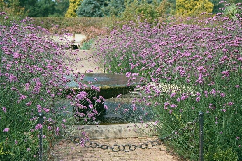 Jardines decorados con Verbena bonariensis