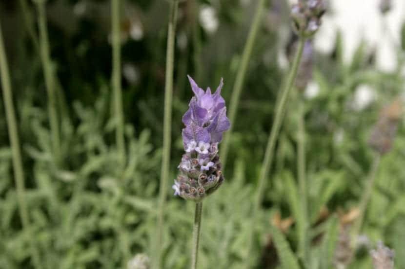 Las flores de la Lavandula dentata son lilas