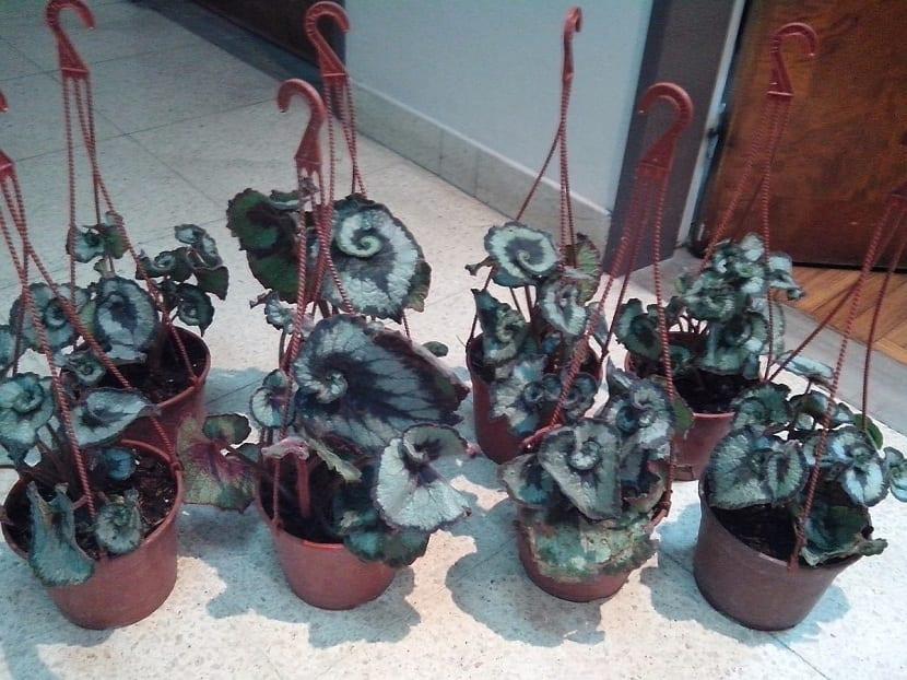 Macetas de Begonia rex