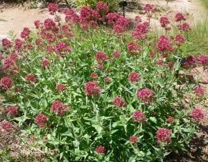 Matas de Centranthus ruber