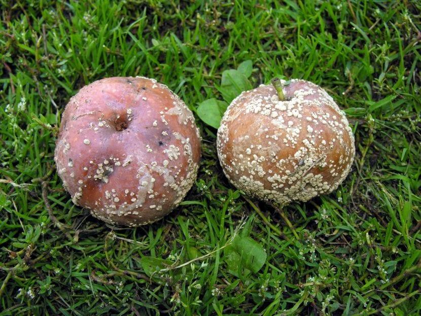 Monilia fructigena