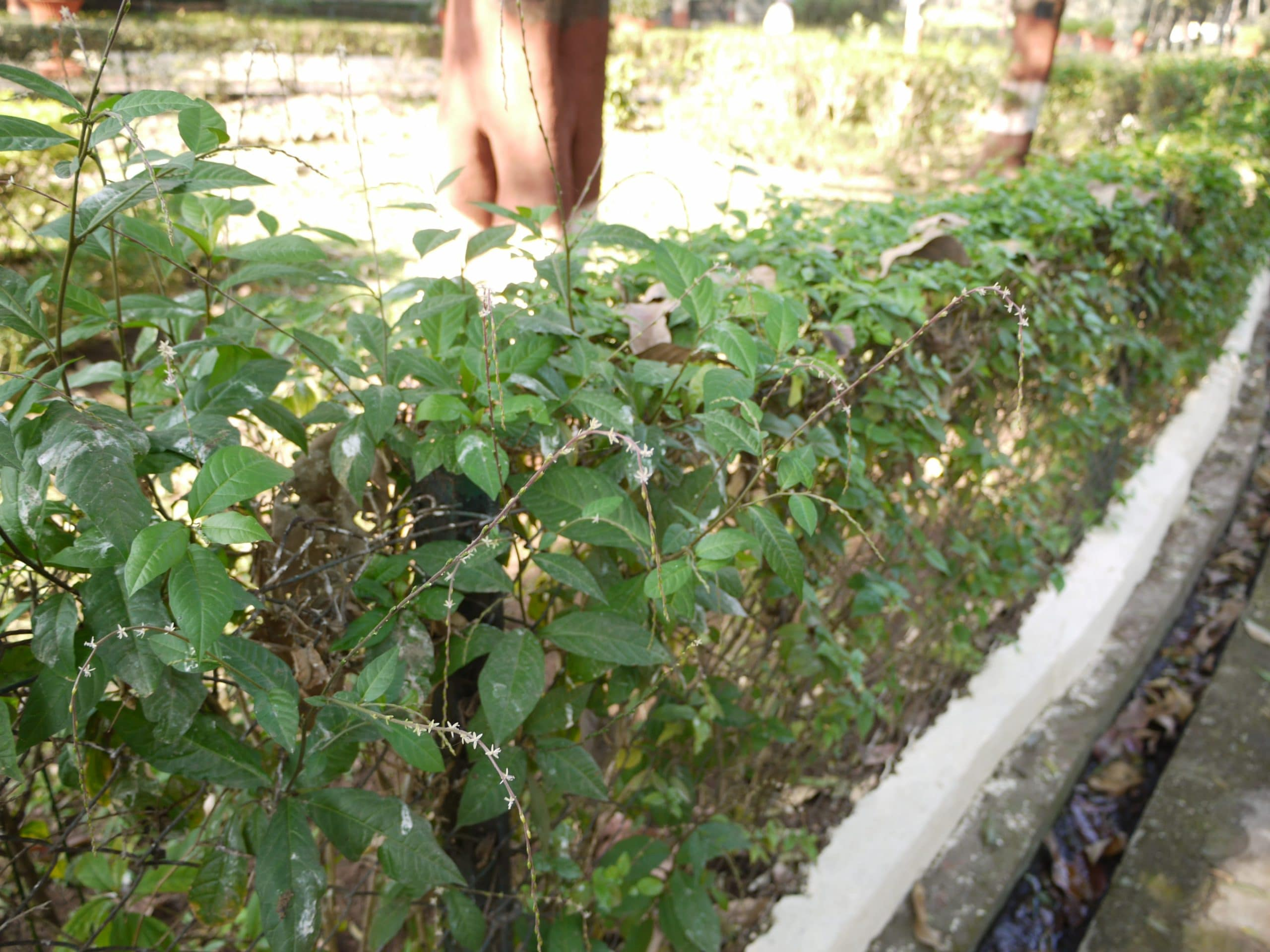 Planta de Petiveria alliacea