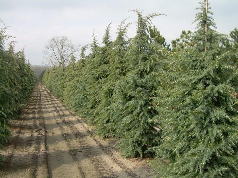 Plantaciones de Cedrus deodara