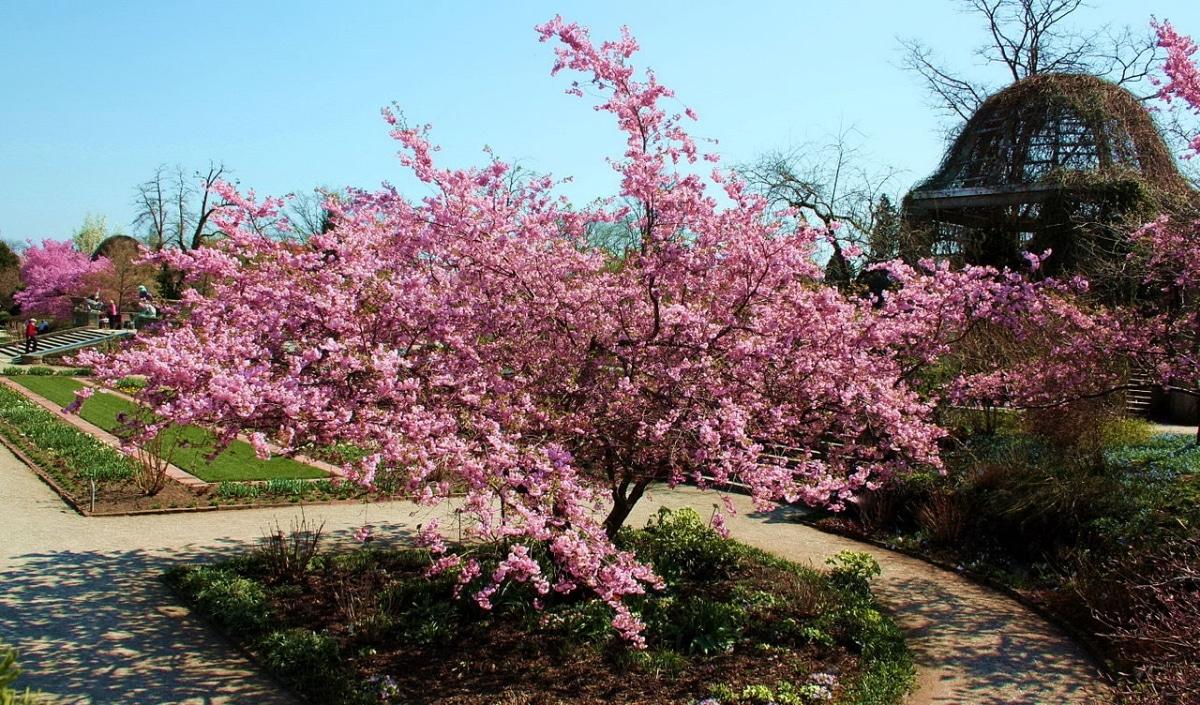 El Prunus sargentii es un árbol de flores rosas