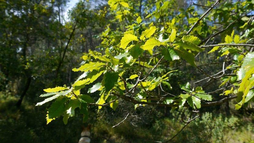 Planta del Quercus canariensis