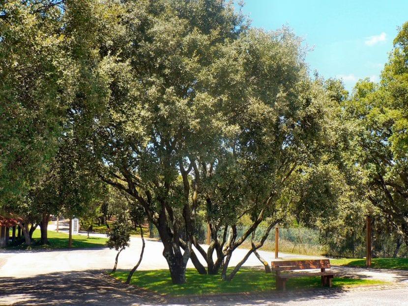 El Quercus rotundifolia es un árbol de jardín precioso