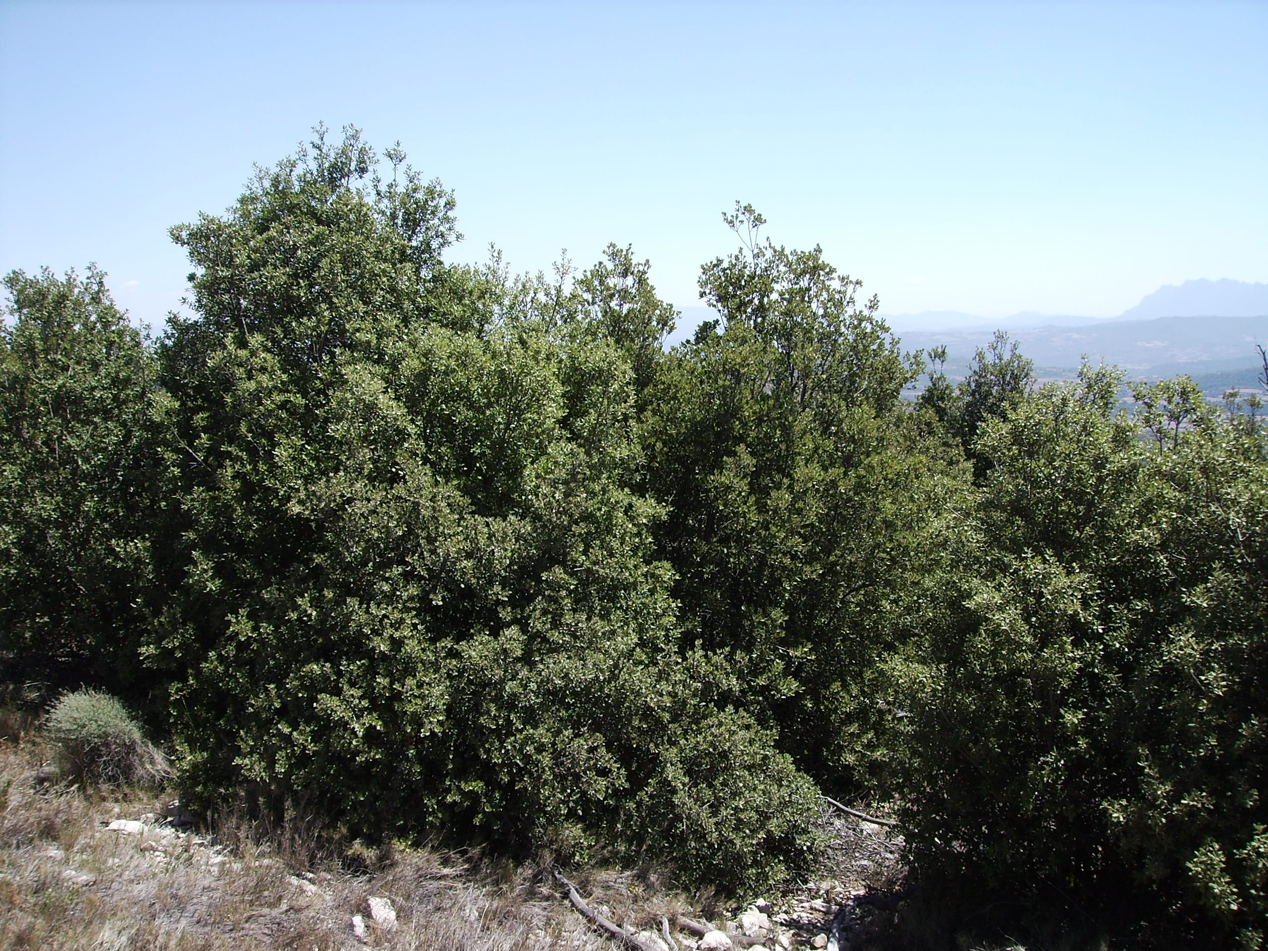 Quercus rotundifolia, es el nombre científico de un árbol perennifolio