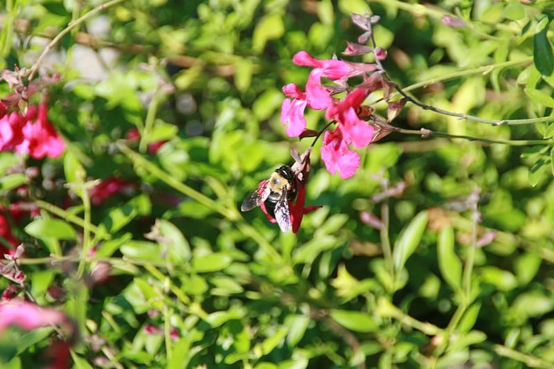 Salvia greggii de flor rosa