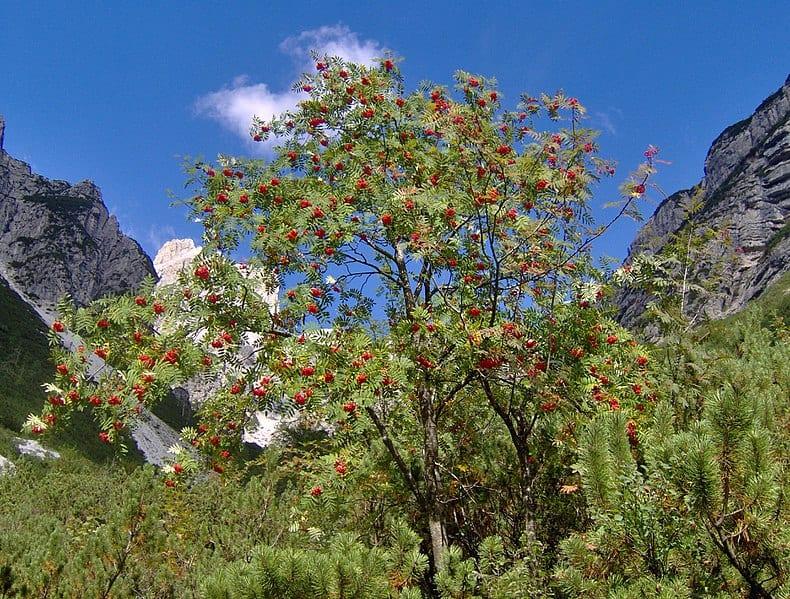 Sorbus en hábitat