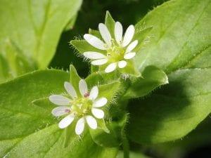 Vista de las flores de la Stellaria media