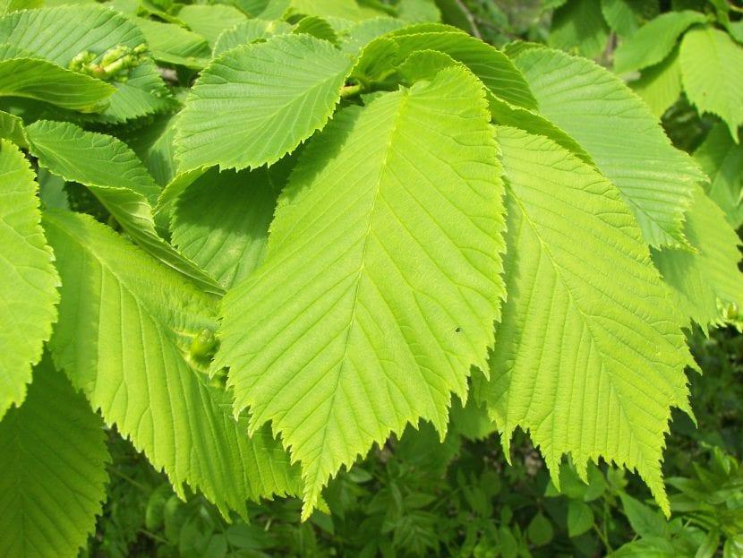 Las hojas del olmo son caducas