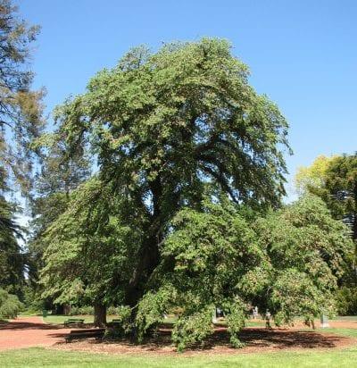 Vista del árbol Ulmus glabra 'Horizontalis'
