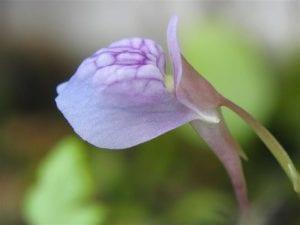 Las flores de la Utricularia graminifolia son violáceas