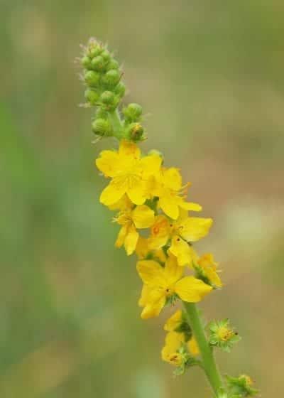 Flor de la Agrimonia eupatoria