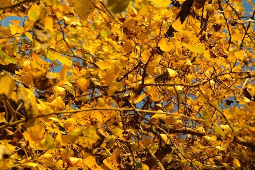 Vista del álamo en otoño