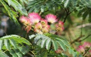 Vista de las flores de la Albizia julibrissin