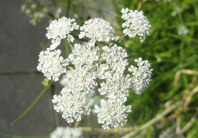 Las flores de la alisma son blancas