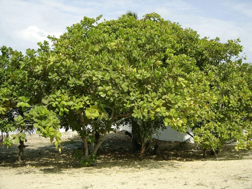 Vista del árbol de anacardos