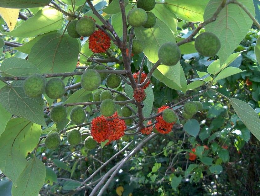 arbol con frutos y flores de color rojo