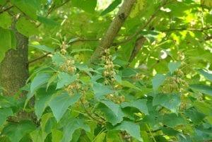 arbol de hojas grandes y verdes
