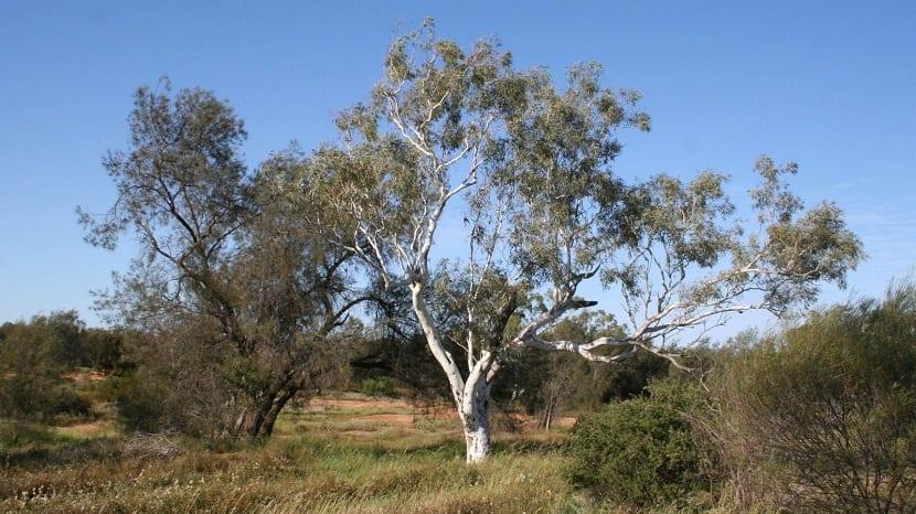 Vista del árbol de tronco blanco llamado Eucalyptus camaldulensis