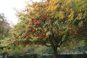 arbol lleno de fruta de color roja