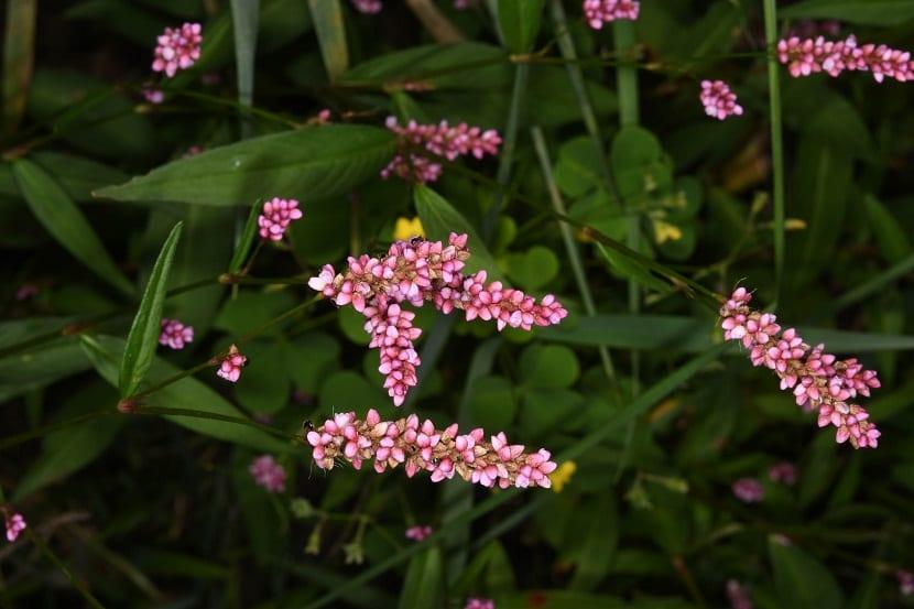 arbusto con flores rosas llamado Polygonum persicaria
