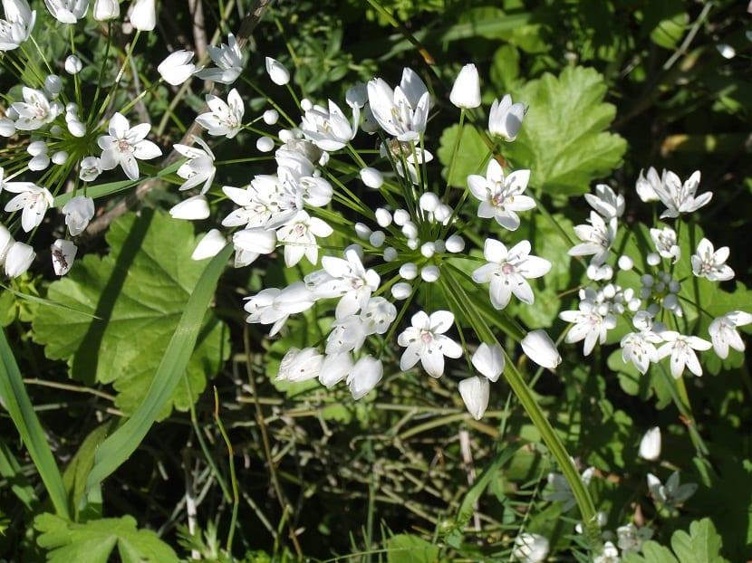 arbusto con pequeñas flores blancas