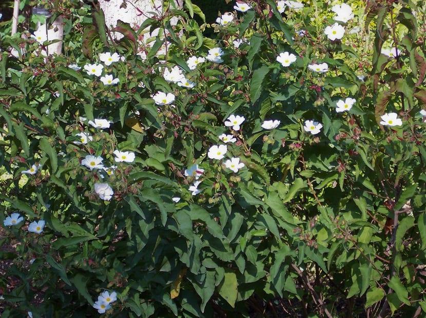 arbusto lleno de flores blancas