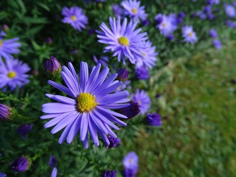 Los Aster son flores muy alegres