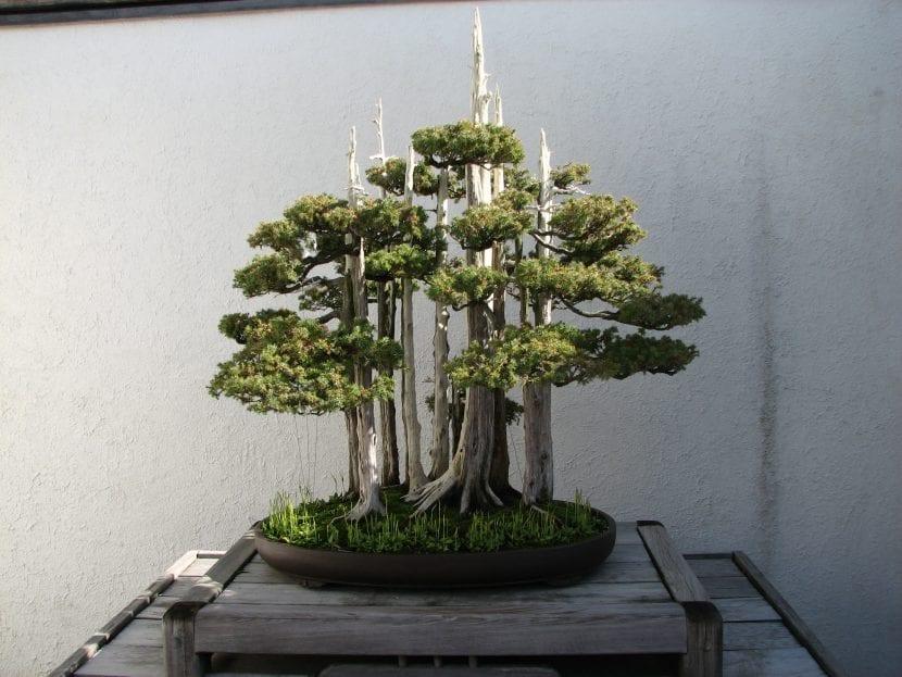 Bonsái de Taxus con estilo de bosque