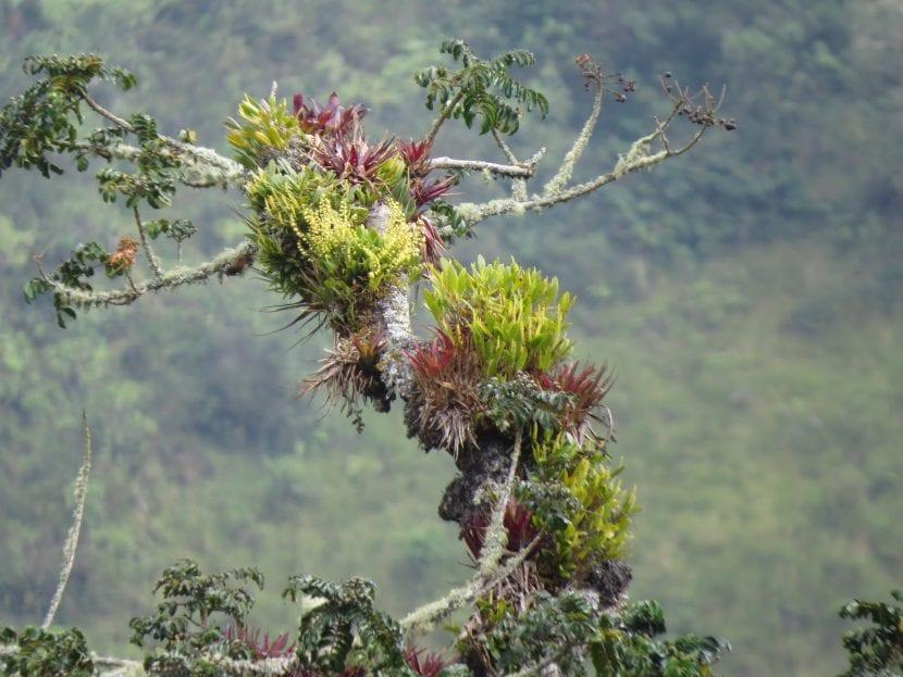 Bromelias en hábitat