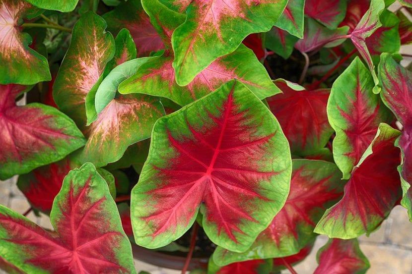 Las hojas del caladio son de colores muy vistosos