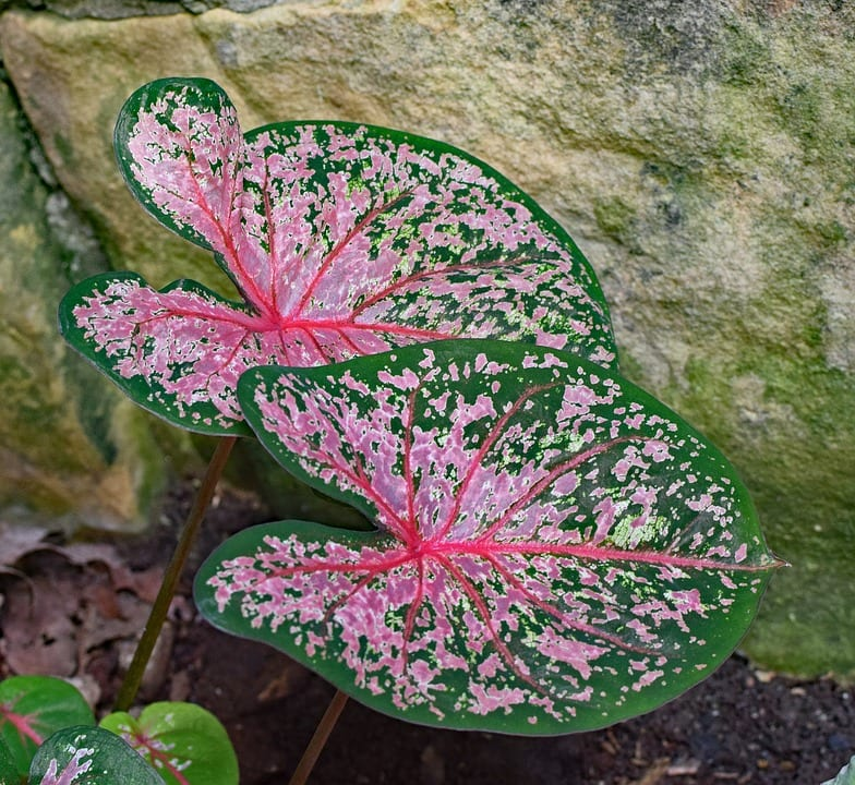 El Caladium es una planta tropical