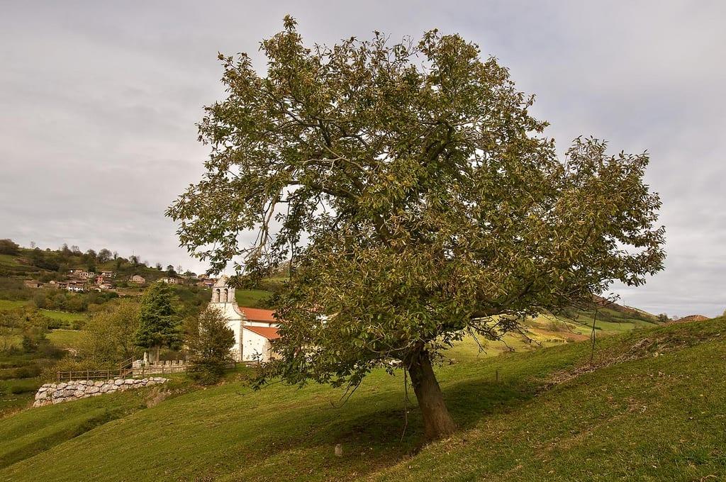 Vista del árbol de castaño