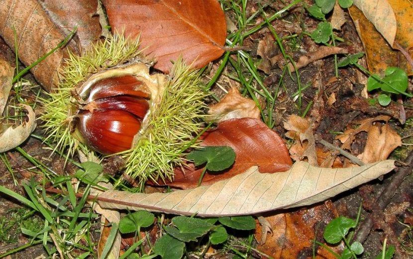 El fruto del castaño madura en otoño