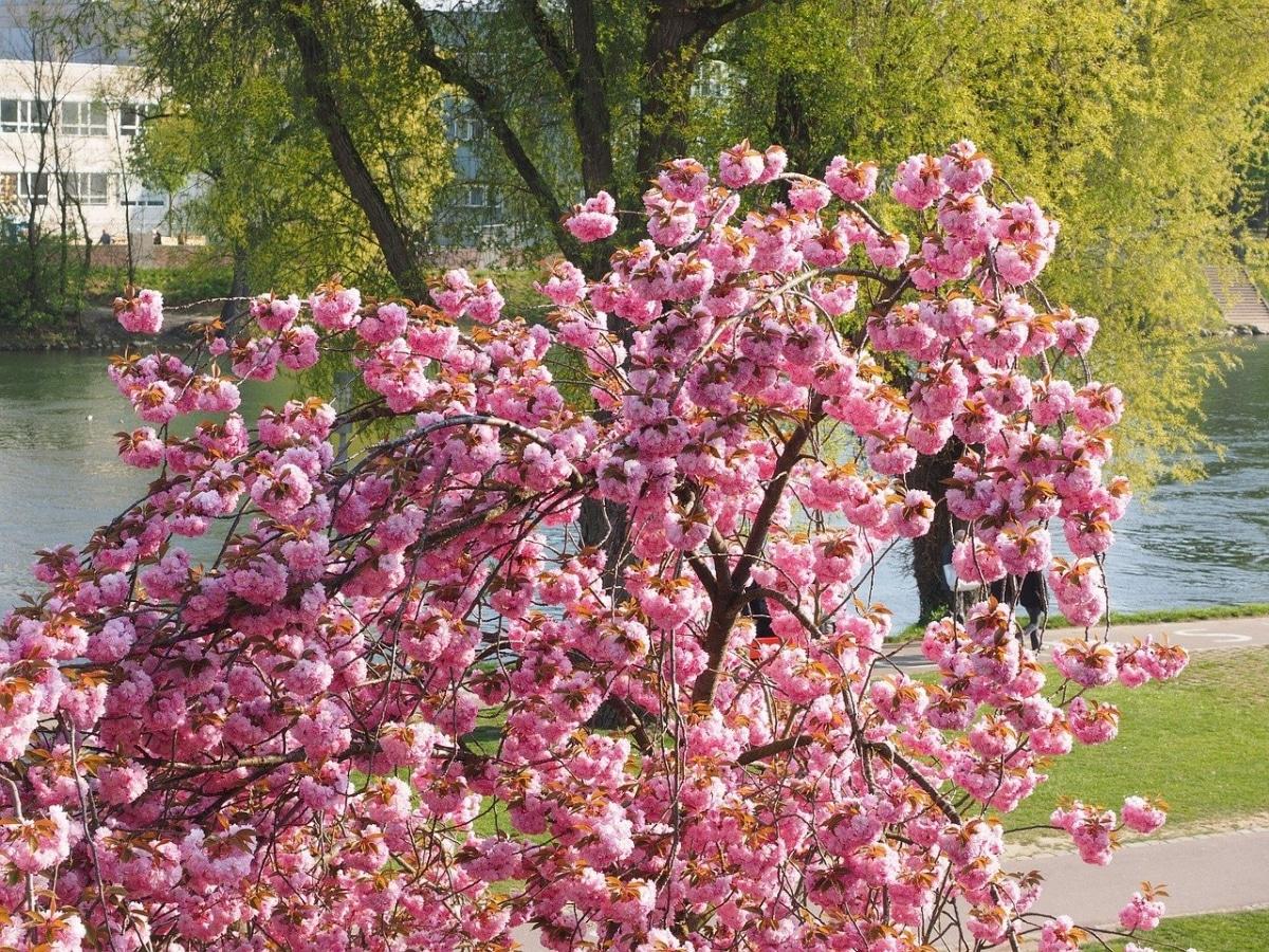 Las flores del cerezo japonés se agrupan en racimos