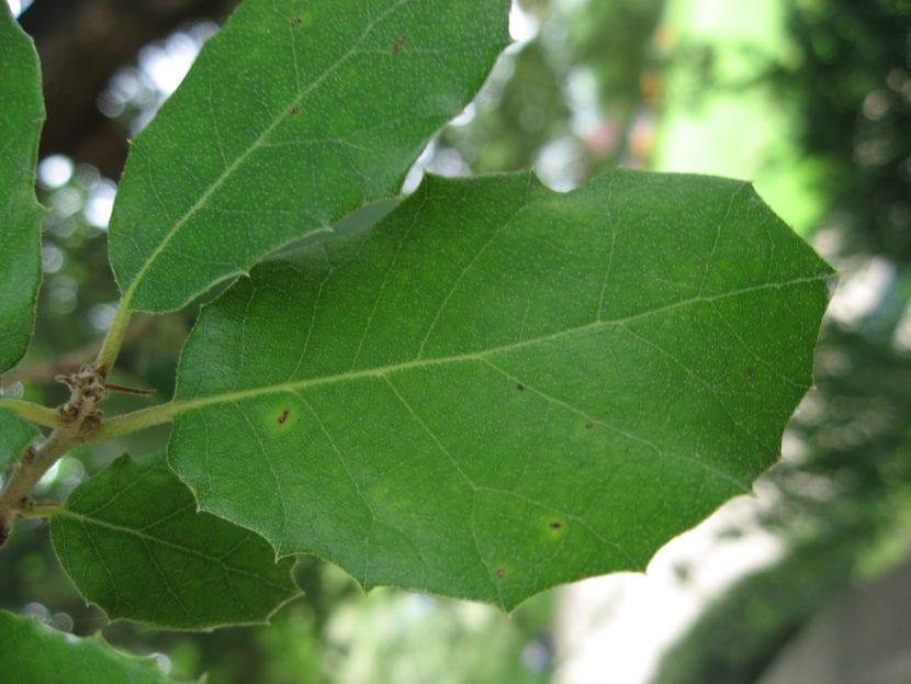 Vista de las hojas de encina