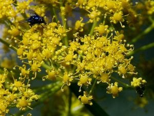 Vista de las flores de la cañaheja
