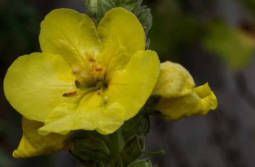 La flor del gordolobo es amarilla