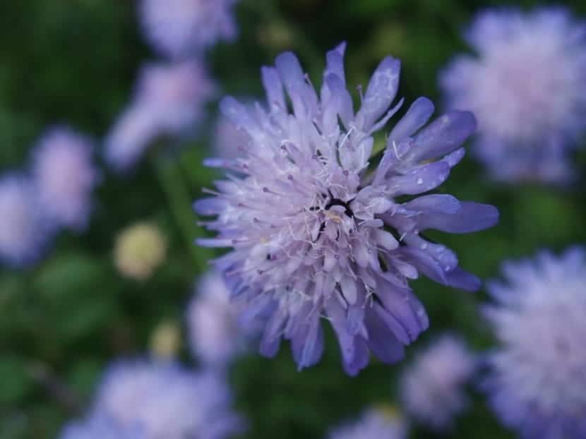 flor de pétalos azulados llamada Knautia arvensis